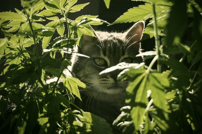 CBD Oil Cat Treats